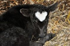 Baby calves. How cute!