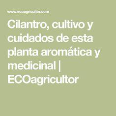 Cilantro, cultivo y cuidados de esta planta aromática y medicinal  | ECOagricultor