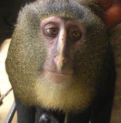 New species of African monkey discovered.