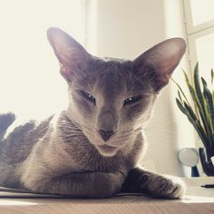 Frida, oriental shorthair cat