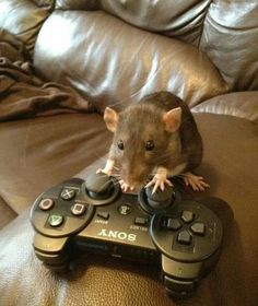 Gaming 4 Happiness on I.You can find Xbox and more on our website.Gaming 4 Happiness on I. Animals And Pets, Baby Animals, Funny Animals, Cute Animals, Strange Animals, Funny Rats, Cute Rats, Cute Creatures, Rodents