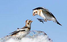 Hai chú chim sẻ tuyết vùng địa cực tranh giành thức ăn trên miếng băng nhỏ đang tan chảy ở Mirabel, Canada. Ảnh: Mircey Costina - Rex Features