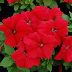 Limbo Red petunia blossoms. 30 pelleted seeds - $2.49