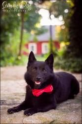 Nook: Schipperke, Dog; Dublin, OH @chelseamagruder we need another one! :)