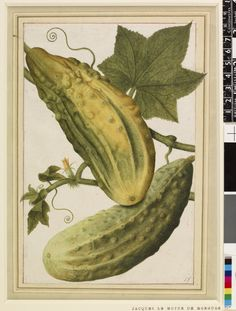 One of the drawings from an album, Cucumber Watercolour and bodycolour