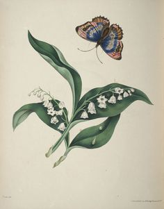 Lilies of the Valley, Eliza Eve Gleadall, 1834.