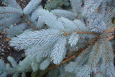 Picea pungens 'Hoopsii' - Hoopsii Spruce - Zone 2