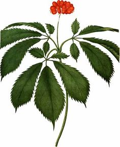 Ginseng Vintage Plant Illustration Vector Image by BarbWireNSpurs