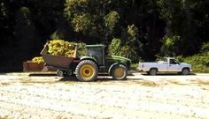 Tractor & dump buggy loading tobacco into trailer