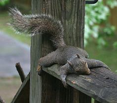 funny thanksgiving meme about the day after thanksgiving with picture of squirrel laying on its front looking exhausted Squirrel Pictures, Funny Animal Pictures, Baby Animals, Funny Animals, Cute Animals, Unusual Animals, Wild Animals, Funny Thanksgiving Memes, Friends Thanksgiving