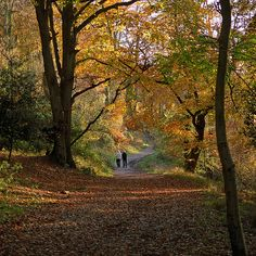 Colors of Autumn (10 of 18) | Ashridge Park, Hertfordshire, UK | Afternoon walk in Autumn along path through Beech Trees by ukgardenphotos, via Flickr