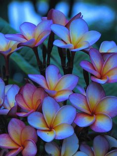 love blue Flowers - Plumeria blooms also called Frangipani. - title I love blue!Flowers - Plumeria blooms also called Frangipani. - title I love blue! Flores Plumeria, Plumeria Flowers, Hawaiian Flowers, Tropical Flowers, Plumeria Flower Tattoos, Lilies Flowers, Unusual Flowers, Simple Flowers, Flowers Nature