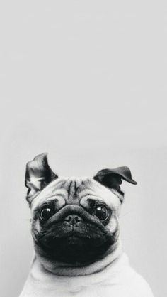 backgrounds, pug, wallpapers, lockscreens
