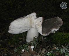 Ρούσουλα ή Κυανόξανθη - Russula Cyanoxantha