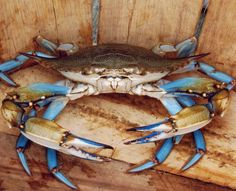 New Seafood Drawing Blue Crabs Ideas Crab And Lobster, Fish And Seafood, Crab Painting, Crab Tattoo, Crab Art, Louisiana Art, Take Off Your Shoes, Ocean Life, Sea Creatures