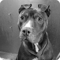Santa Maria, CA - Pit Bull Terrier. Meet George, a dog for adoption. http://www.adoptapet.com/pet/14008119-santa-maria-california-pit-bull-terrier