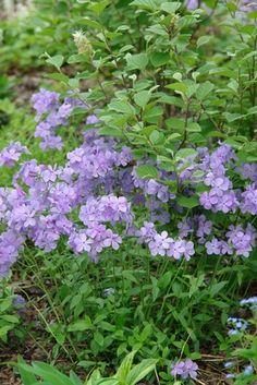 Phlox divaricata 'Blue Moon' Woodland phlox from North Creek Nurseries - Think this needs shade & moist soil….