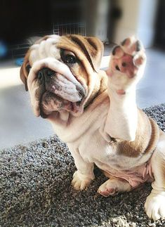 "English bulldog - ""Hi!"""