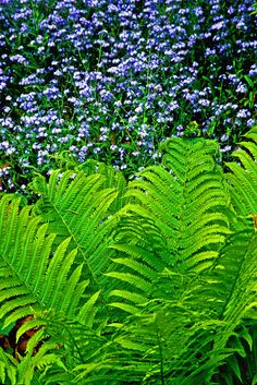 Ferns and forget-me-nots