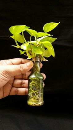 Houseplants In Bottles: How To Grow Plants In Water Money plant / Devil's ivy - at least 2 yrs old in this bottle. The leaves are much smaller than normal size. The roots are in tap water, enriched with liquid NPK. 50 % of the bottle is roots and the rest Inside Plants, Ivy Plants, Garden Plants, Foliage Plants, Plants Grown In Water, Money Plant In Water, Plants In Bottles, Water Bottles, Indoor Water Garden