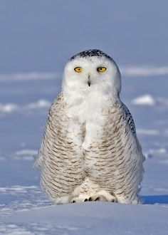 Harfang des neiges - Bubo scandiacus
