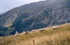 Schapen in de Alpen-weide langs de Grossglockner Hochalpenstrasse.  Eigen foto sept.2003.