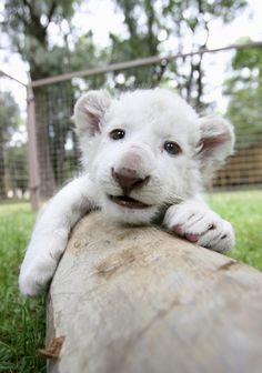 White lion cub!