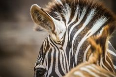 Each zebra has a #unique stripe pattern - no two are alike. Photo by Bob Worthington.