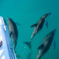 Dolphins below our boat; we've going for a swim! Itinerary Planner, Travel Planner, Nz South Island, New Zealand Travel, Dolphins, Wonders Of The World, Swimming, Boat, Swim