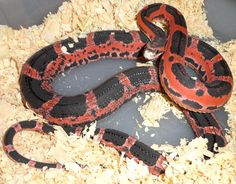 scaleless snake | Copyright © Reptile Odyssey  'Nxt reptile show, im getting one'