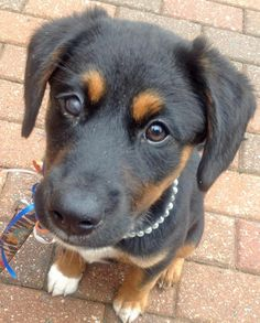Angel-the-Mixed-Breed #dale-holman-maine