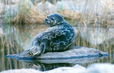 The Saimaa ringed seal (Phoca hispida saimensis) is a subspecies of the ringed seal and exists only in the Saimaa lake system of eastern Finland (no-where else in the world). It is an endangered mammal, under WWF protection, with only about 260 individuals remaining in the wild. Photo Juha Taskinen