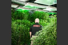 "A security guard walks through the vegetative room called ""The Green Mile"" where mother plants are stored in the grow facility at the Medicine Man recreational and medical marijuana dispensary in Denver, Colo."