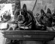 Frenchies and Boston terrier wagon ride