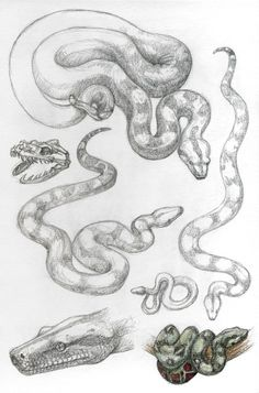 Boa constrictor by Snake Sketch, Snake Drawing, Snake Art, Animal Sketches, Animal Drawings, Drawing Sketches, Art Drawings, Reptiles, Serpent Tattoo