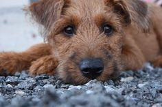 Irish puppy=love