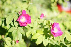 Oravankesäpesä | Valamonruusu Rosa 'Splendens'