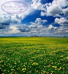 Farm Field With Dandelions And Dramatic Clouds Stock Photo - World ...