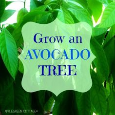 Grow an AVOCADO plant! Here's an easy (lazy-way) how-to.