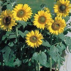 Munchkin sunflower seeds - Garden Seeds - Annual Flower Seeds; loads of fab sunflower varieties on this page.