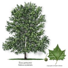 Sycamore (American Planetree) - Native to the area, deciduous, large, rapid growth rate *provide plenty of room, P.mexicana is more drought tolerant