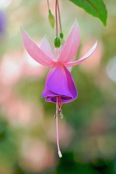 Flower of Fuchsia plant--would like a tattoo of this flower...