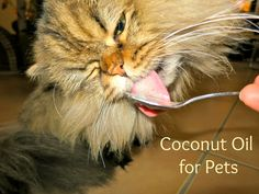 Cat Care Remedies Coconut oil used as a hairball remedy for cats. - Coconut oil used as a hairball remedy for cats. Coconut Oil For Cats, Coconut Oil Uses, Benefits Of Coconut Oil, Cat Care Tips, Pet Care, Pet Tips, Chesire Cat, Healthy Pets, Cat Health