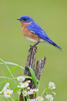 Eastern Bluebird | A male Eastern Bluebird perched on a stump with Asters and grass. Virginia, United States. | http://500px.com/photo/7310265