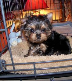 """Share this Pin with anyone needing to potty train a puppy or dog! Snuggles from Florida – Yorkie. PTPA Review: """"He has been doing all his business on the PTPA Potty Pads inside his new Puppy Apartment. I can't believe it!!!! He is only 1.4 lbs"""" Barb - Florida. Animals – Puppy Potty Training for dogs. Click here for more testimonials and to watch our world-famous video: modernpuppies.com"""