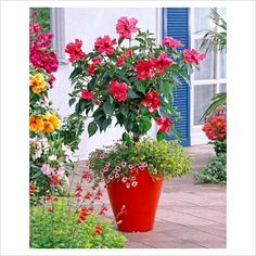 Hibiscus rosa-sinensis underplanted with Calibrachoa Dream Kisses 'Light Pink' and Sanvitalia in red container