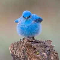 Mountain Bluebird cute blue nature birds mountain wildlife bluebird - (looks like he/she wants to kick some butt - lol) Animals And Pets, Baby Animals, Funny Animals, Cute Animals, Pretty Birds, Beautiful Birds, Animals Beautiful, Cute Birds, Beautiful Images