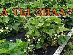 КЛУБНИКА: ВАЖНО на этапе цветения и плодоношения! - YouTube