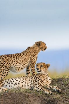 Cheetahs in the Maasai Mara National Reserve in Africa Kenya Travel, Africa Travel, Out Of Africa, Cheetahs, African Safari, Travel Guides, Travel Tips, Travel Couple, Exotic Pets