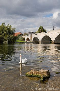 Swan on the river Thames at Chertsey Surrey England
